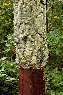 Managed Cork Oak (quercus Suber) Tree Poster