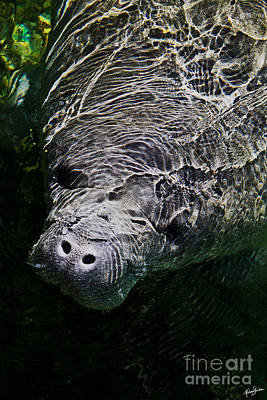 Poster featuring the photograph Manatee 01 by Melissa Sherbon