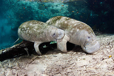 Manatee Mother And Young Poster by David Fleetham