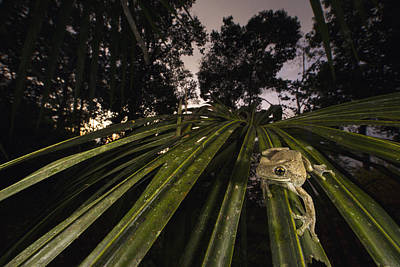 Manaus Slender-legged Treefrog Poster by Cyril Ruoso