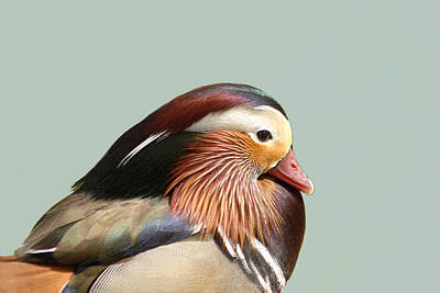 Mandarin Portrait Poster