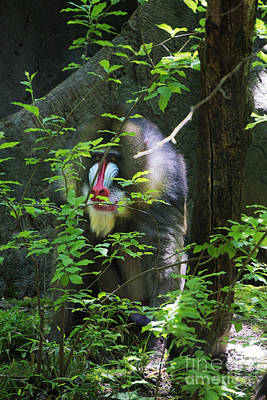 Poster featuring the photograph Mandrill Baboon by Rafael Quirindongo