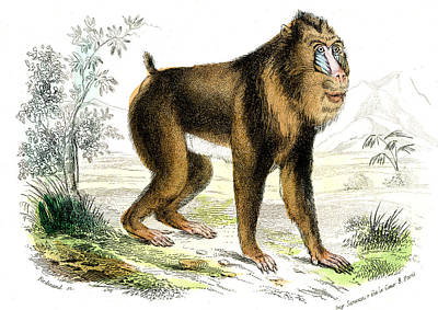 Mandrill Poster by Collection Abecasis