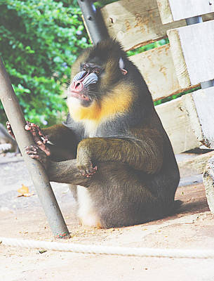 Mandrill Poster by Pati Photography
