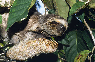 Maned Three-toed Sloths Poster by M. Watson