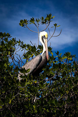Mangrove Pelican Poster