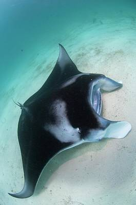 Manta Ray Resting On Sand Poster by Scubazoo