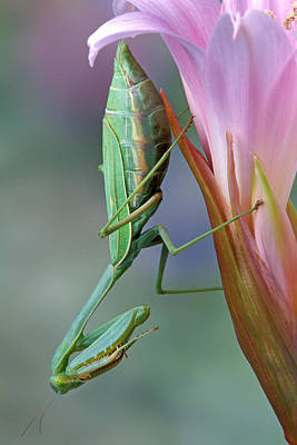 Mantid On Pink Lily Poster