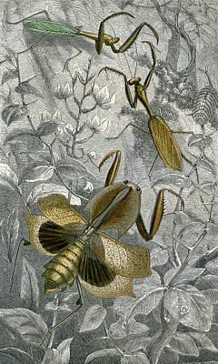 Mantids By Rothschild 1877 Poster by Robert Jensen