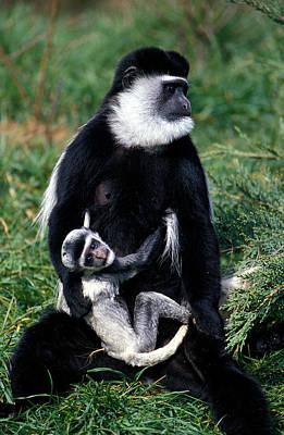 Mantled Guereza Monkey Colobus Guereza Poster by Gerard Lacz