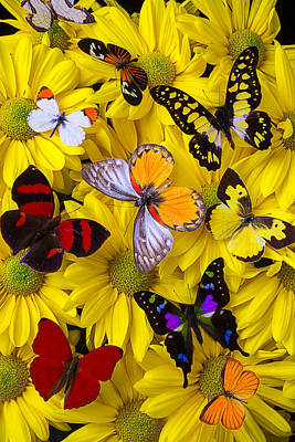 Many Butterflies On Mums Poster
