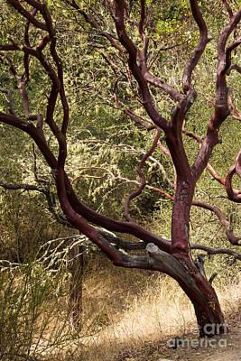 Manzanita Tree Poster