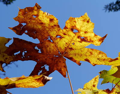 Maple Leaf On A Blue Sky Poster by Peter Mooyman
