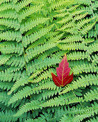 Poster featuring the photograph Maple Leaf On Ferns by Alan L Graham