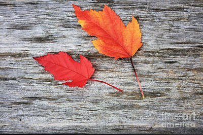 Poster featuring the photograph Maple Leaves by Gerry Bates