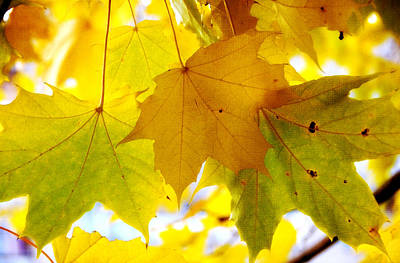 Maple Leaves In Autumn Glory Poster by Jenny Rainbow