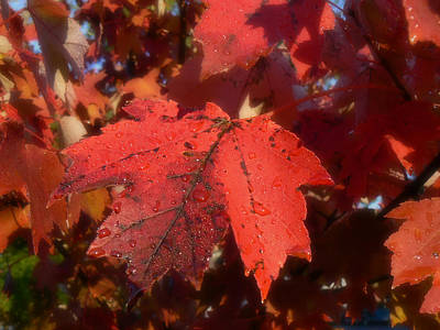Maple Leaves In Autumn Red Poster by MM Anderson
