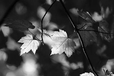 Maple Leaves In Black And White Poster