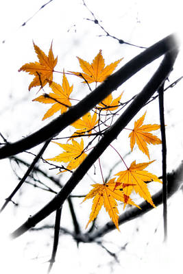 Poster featuring the photograph Maple Leaves by Jonathan Nguyen