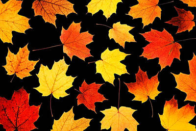 Maple Leaves On Black Poster by Jim Hughes