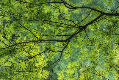 Maple Tree At Selkirk Provincial Park - Poster by Darwin Wiggett