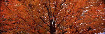 Maple Tree In Autumn, Vermont, Usa Poster by Panoramic Images