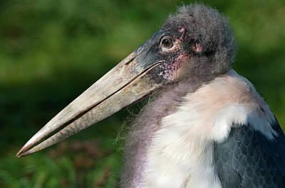 Marabou Stork Poster by Nigel Downer