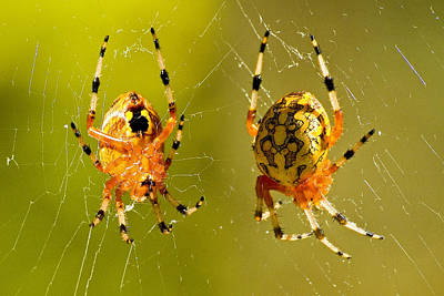 Marbled Orb Weaver Spider Poster by Michael Whitaker