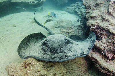 Marbled Ray (taeniura Meyeri Poster by Pete Oxford