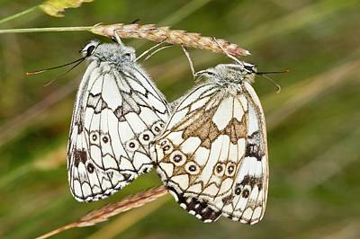 Marbled White Butterflies Mating Poster by Bob Gibbons