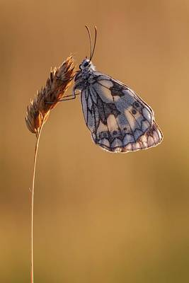 Marbled White Butterfly Poster