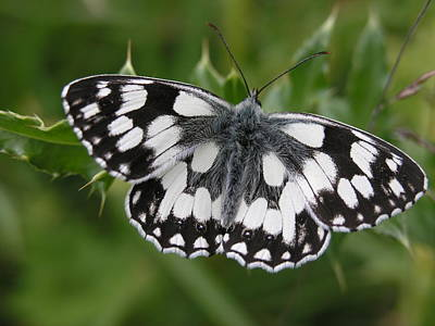 Marbled White Poster by Ron Harpham