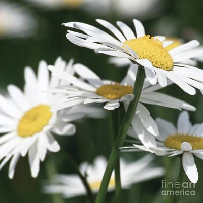 Marguerite Blossom Poster
