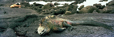 Marine Iguana Galapagos Islands Poster by Panoramic Images