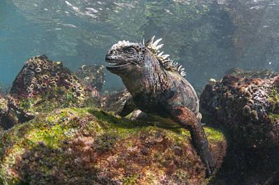 Marine Iguana Rabida Island Galapagos Poster