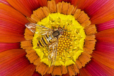 Marmalade Hoverfly On Gazania Essex Poster by Bill Coster