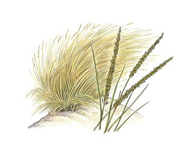 Marram Grass (ammophila Arenaria) Poster by Science Photo Library