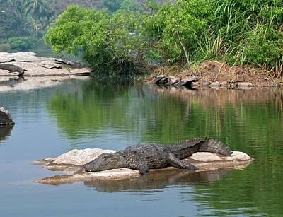 Marsh Crocodile Poster by K Jayaram