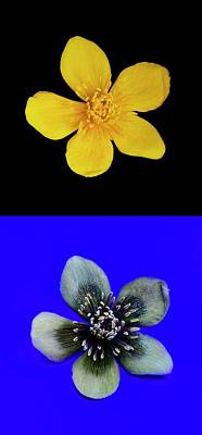 Marsh Marigold In Uv Light And Daylight Poster by Cordelia Molloy