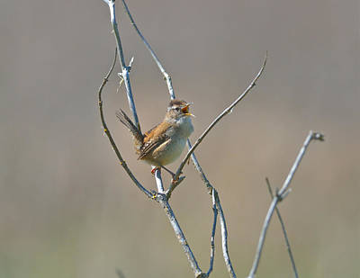 Poster featuring the photograph Marsh Wren by Kathy King