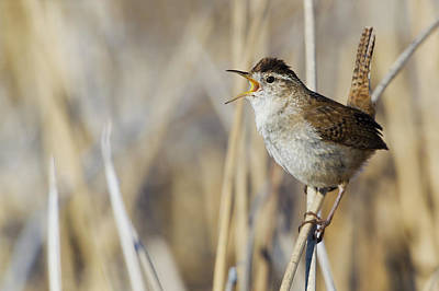 Marsh Wren Singing Poster