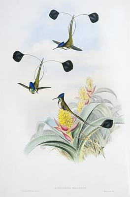 Marvellous Spatuletails, Artwork Poster by Science Photo Library