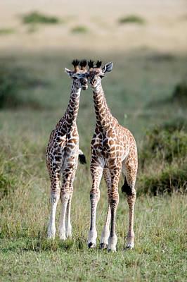 Masai Giraffes Giraffa Camelopardalis Poster
