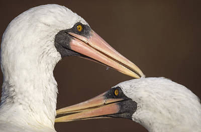 Masked Booby Couple Allopreening Poster by Tui De Roy