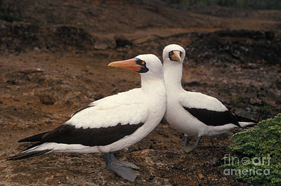 Masked Booby Sula Dactylatra Poster by Ron Sanford