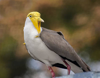 Masked Lapwing Poster by Carolyn Marshall
