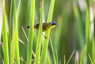 Masked Yellowthroat Geothlypis Poster