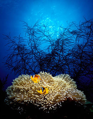 Mat Anemone And Allards Anemonefish Poster by Panoramic Images