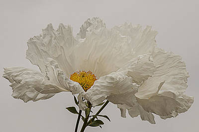 Matilija Poppy White On White Poster