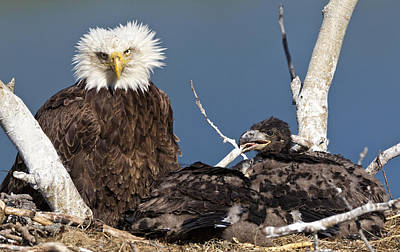 Mature Bald Eagle And Chicks In A Nest Poster